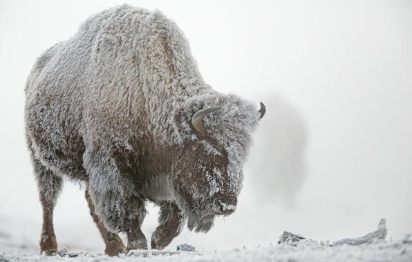 Картинка зима, иней, снег, туман, Йеллоустонский национальный парк, бизон