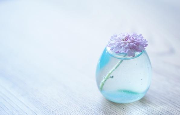 Картинка цветок, вода, фон, прозрачная, ваза, хризантема