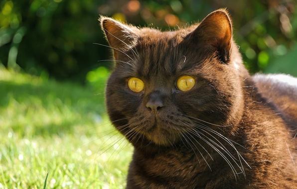 Картинка кот, усы, взгляд, морда, котяра, глазища, чёрный кот