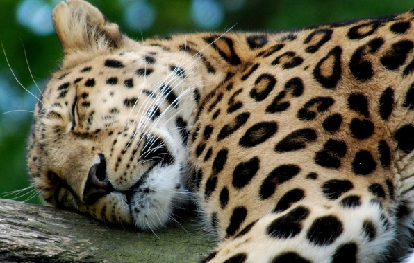 Картинка стол, обои, леопард, милый, на рабочий, спящий
