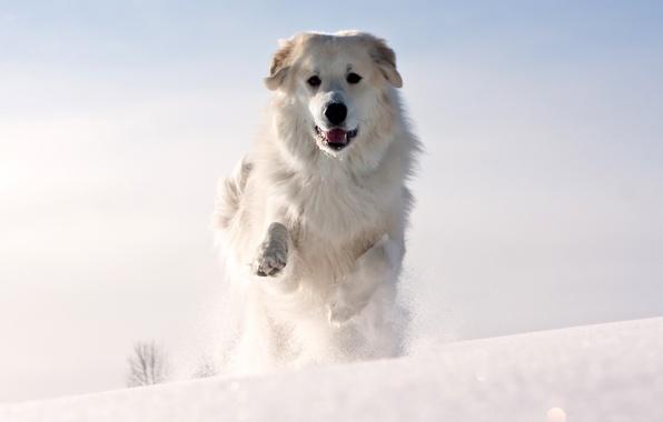 Картинка холод, зима, морда, снег, животное, собака, лапы, шерсть, белая, уши, бежит