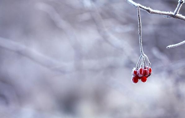 Картинка зима, иней, снег, ягоды, ветка, красные