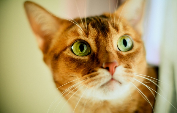 Картинка взгляд, размытость, Кот, рыжий, зеленоглазый