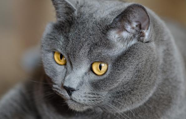 Картинка кошка, глаза, кот, взгляд, серый, желтые, британский, британец