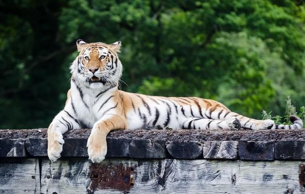 Картинка морда, тигр, отдых, хищник, лапы, лежит, дикая кошка