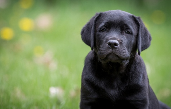 Картинка взгляд, портрет, собака, щенок, Лабрадор-ретривер