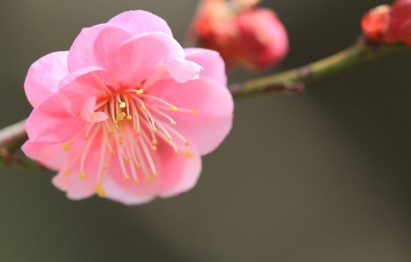 Картинка цветок, макро, розовый, фокус, ветка, лепестки, размытость, Японский абрикос