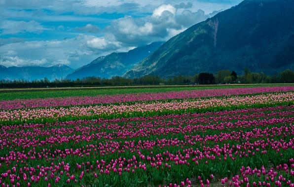 Картинка поле, облака, снег, пейзаж, цветы, горы, природа, тюльпаны, landscape, nature, flowers, clouds, mountain, snow, tulips, …