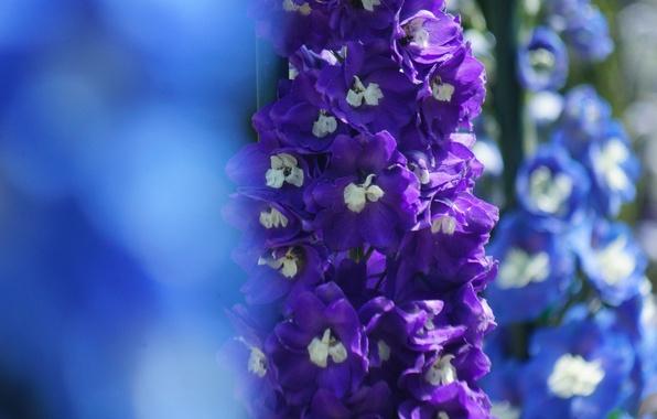 Картинка цветы, фокус, голубые, сиреневые, дельфиниум
