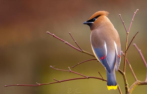 Картинка фон, птица, ветка, свирестель