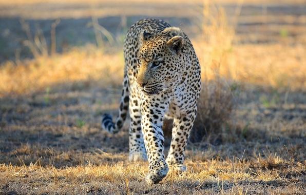 Картинка морда, хищник, леопард, саванна, Африка, прогулка, дикая кошка
