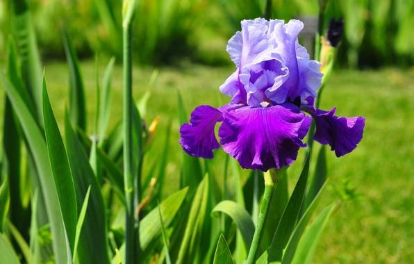 Картинка цветок, лепестки, ирис