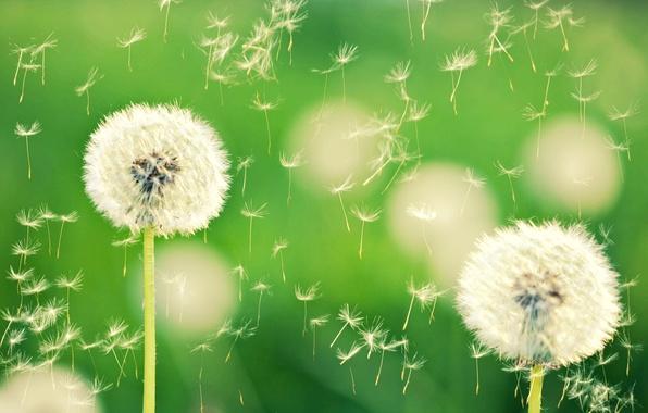 Картинка макро, цветы, природа, зеленый, фон, одуванчик, обои, растение, wallpaper, одуванчики, широкоформатные, background, боке, полноэкранные, HD …