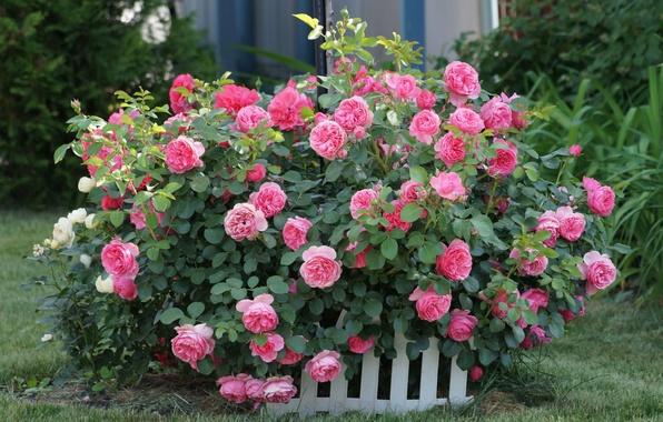 Картинка трава, цветы, растительность, куст, розы, розовые, бутоны, заборчик