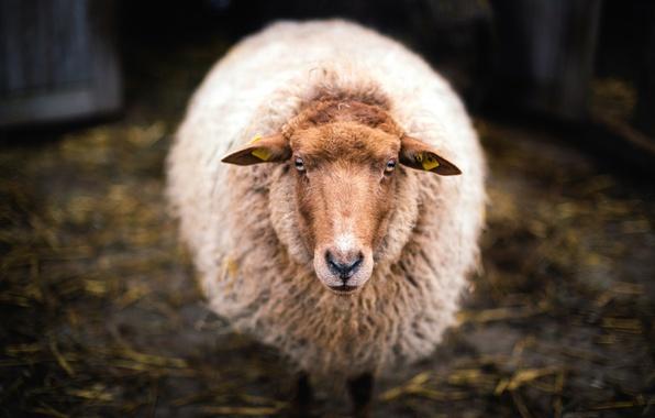 Картинка взгляд, шерсть, овечка