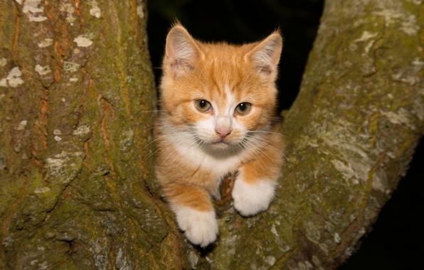 Картинка взгляд, дерево, рыжий, котёнок, на дереве, рыжий котёнок