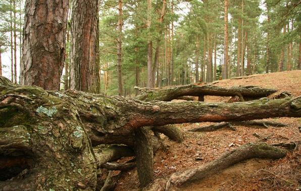 Картинка лес, пейзаж, природа, корни, настроение, отдых, сосны, прогулка