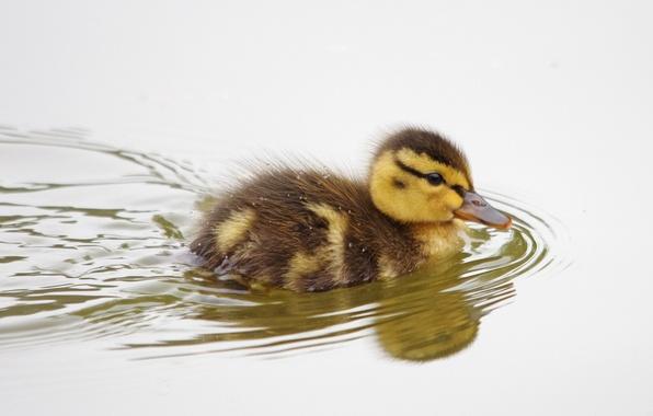 Картинка птица, детёныш, утёнок, утка, плывёт