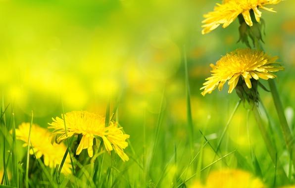 Картинка природа, grass, травка, одуванчики, nature, dandelion