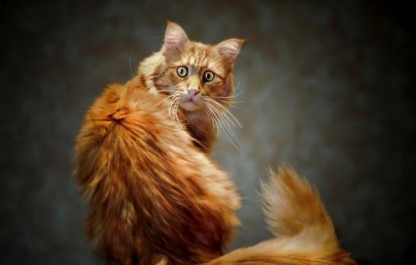 Картинка глаза, кот, взгляд, рыжий, хвост, котэ