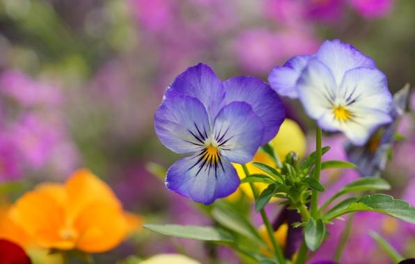 Картинка цветы, голубые, анютины глазки, полевые, виола