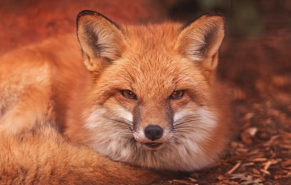 Картинка взгляд, морда, лиса, рыжая