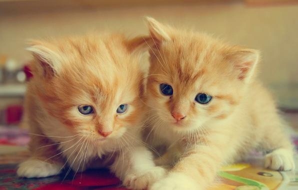 Картинка котята, малыши, рыжие, парочка, двойняшки
