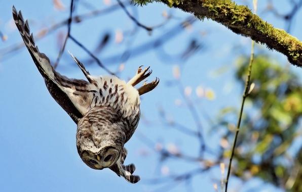 Картинка сова, ветка, вниз, летит, падает, крыла