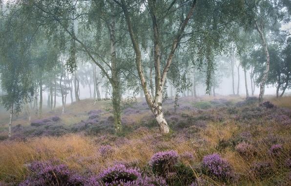 Картинка лето, туман, утро, берёза