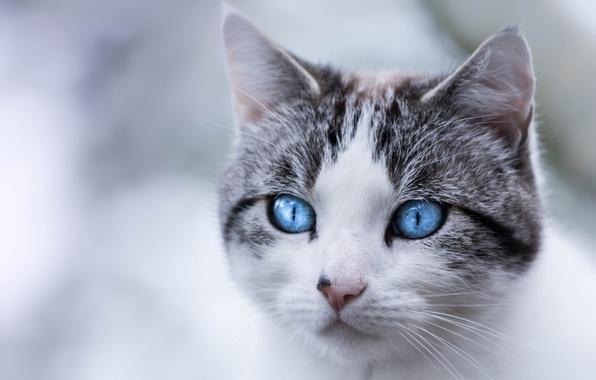 Картинка кошка, кот, взгляд, портрет, мордочка, голубые глаза
