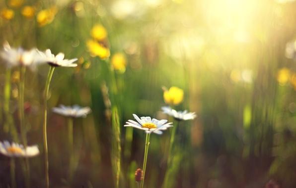 Картинка цветок, солнце, цветы, фон, обои, размытие, ромашка, день, wallpaper, цветочки, широкоформатные, flowers, background, полноэкранные, HD …