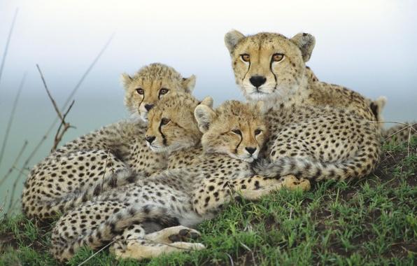 Картинка семья, Гепард, детеныши, мать
