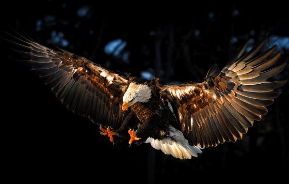 Картинка птица, орел, крылья, eagle