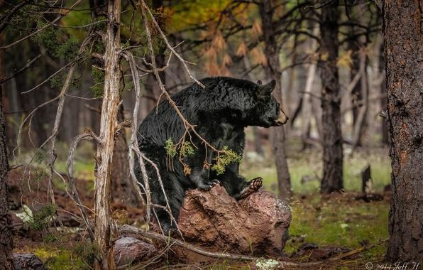 Картинка лес, медведь, барибал, чёрный медведь