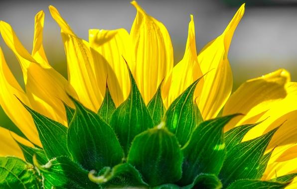 Картинка цветок, подсолнух, лепестки