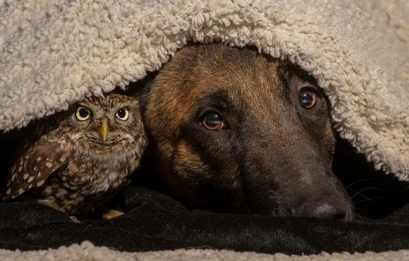 Картинка сова, птица, собака, друзья