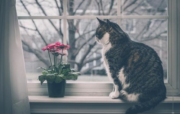 Картинка кошка, цветок, кот, окно, герберы, на подоконнике