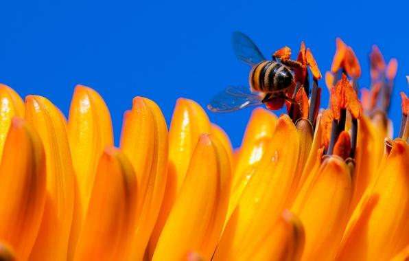 Картинка цветок, небо, пчела, лепестки, насекомое