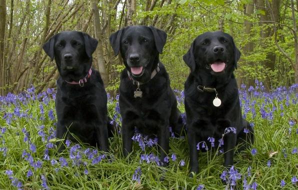 Картинка лес, собаки, цветы, колокольчики, трио, троица, Лабрадор-ретривер