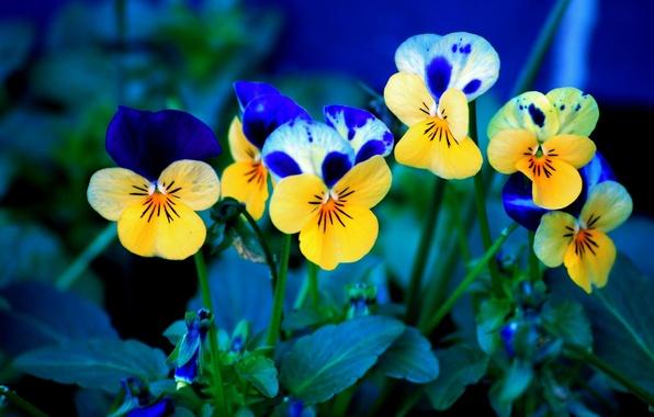 Картинка цветы, фон, анютины глазки