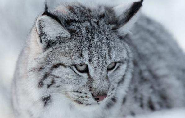 Картинка взгляд, портрет, мордочка, серая, рысь, дикая кошка, Евразийская