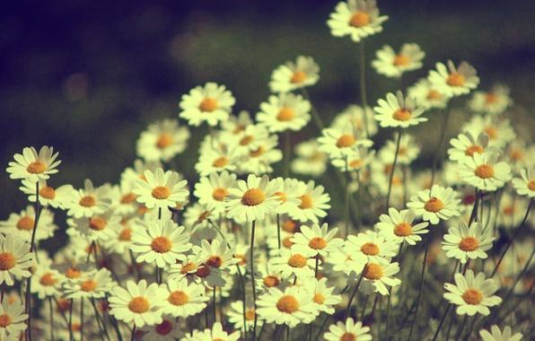 Картинка цветы, природа, ромашки, растения