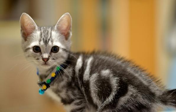 Картинка взгляд, котенок, серый, малыш, Кот, мордочка, ошейник