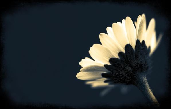 Картинка цветок, макро, фото, фон, обои, растение, чёрно-белое, лепестки