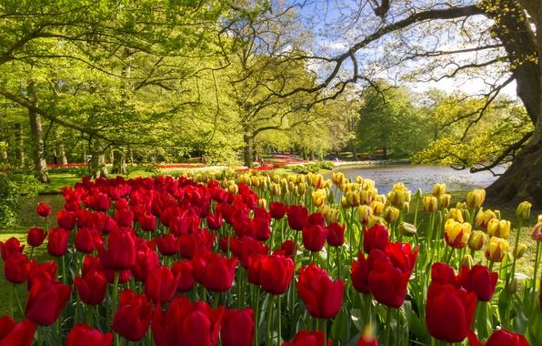 Картинка деревья, цветы, пруд, парк, желтые, тюльпаны, красные, Нидерланды, Keukenhof