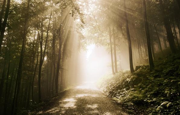 Картинка дорога, лес, лучи, папоротник