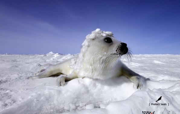Картинка глаза, снег, морской котик
