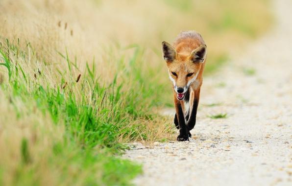 Картинка трава, животное, лиса, fox, рыжая лиса