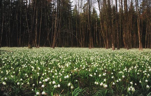 Картинка лес, природа, поляна, весна, подснежники