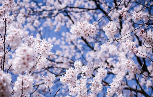 Картинка небо, макро, цветы, ветки, вишня, дерево, Япония, размытость, сакура, синее, цветение, Мацумото, префектура Нагано
